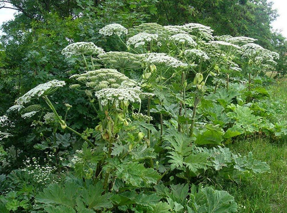 Борщевик и компания: что надо знать о ядовитых растениях